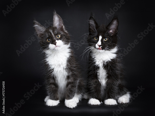 Fotografía  Two Maine coon cat kittens sitting together isolated on black background