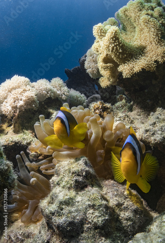 Fotografie, Tablou  Clownfish in the Red Sea - find Nemo
