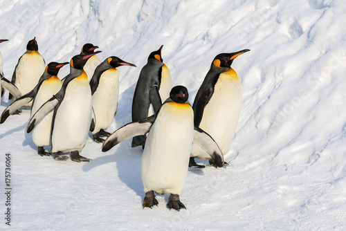 La pose en embrasure Pingouin King penguins walking on the snow in Hokkaido,Japan.