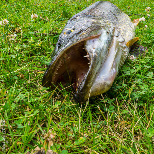 Northern pike on the grass Fotobehang