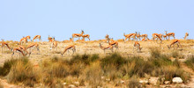 Large Herd Of Impala Standing ...