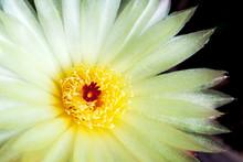 Yellow Flower Of Notocactus Ottonis (closeup)