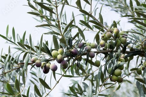aceitunas madurando en el olivo Wallpaper Mural