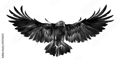Photo  isolated picture of bird crows on white background in front
