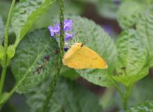 Orange Barred Sulphur Butterfly (Phoebis Philea)