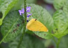 Orange Barred Sulphur Butterfl...