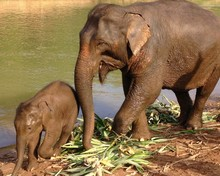 Mother Elephant With Baby Elep...