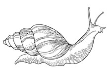 Vector Drawing Of Achatina Snail Or African Giant Land Snail In The Conical Shell In Black Isolated On White Background. Hermaphrodite Gastropod Mollusk In Contour Style For Fauna Coloring Book.