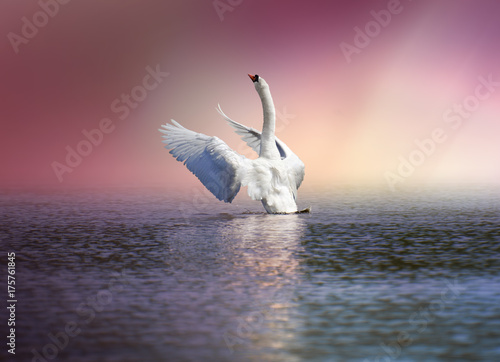 Poster Cygne Ready to fly