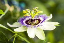 Passion Flower (Passiflora Incarnata) With Details