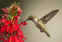 Ruby-throated Hummingbird With...