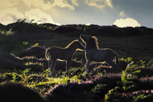 Upland Wild Ponies
