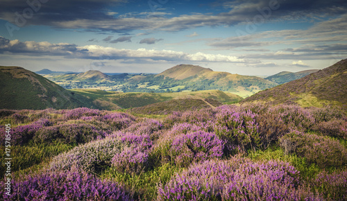 Deurstickers Heuvel Upland Heathland Landscape at Summer Bloom