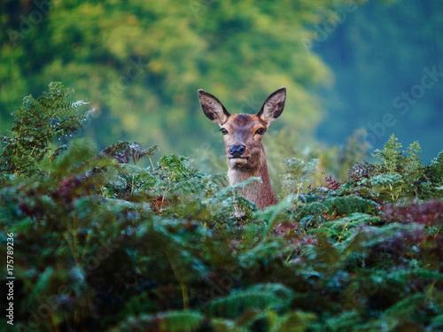 Obraz na płótnie Female Red Deer (Cervus elaphus)