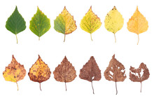 Autumn Concept, Age Changes Of Leaves, Aging Stages, The Birth Death, Drying, Time Flies