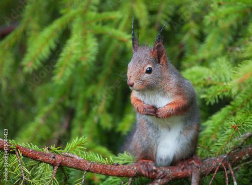 Foto op Canvas Eekhoorn The red squirrel or Eurasian red squirrel