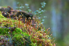 Moss With Dewdrops Growing In ...