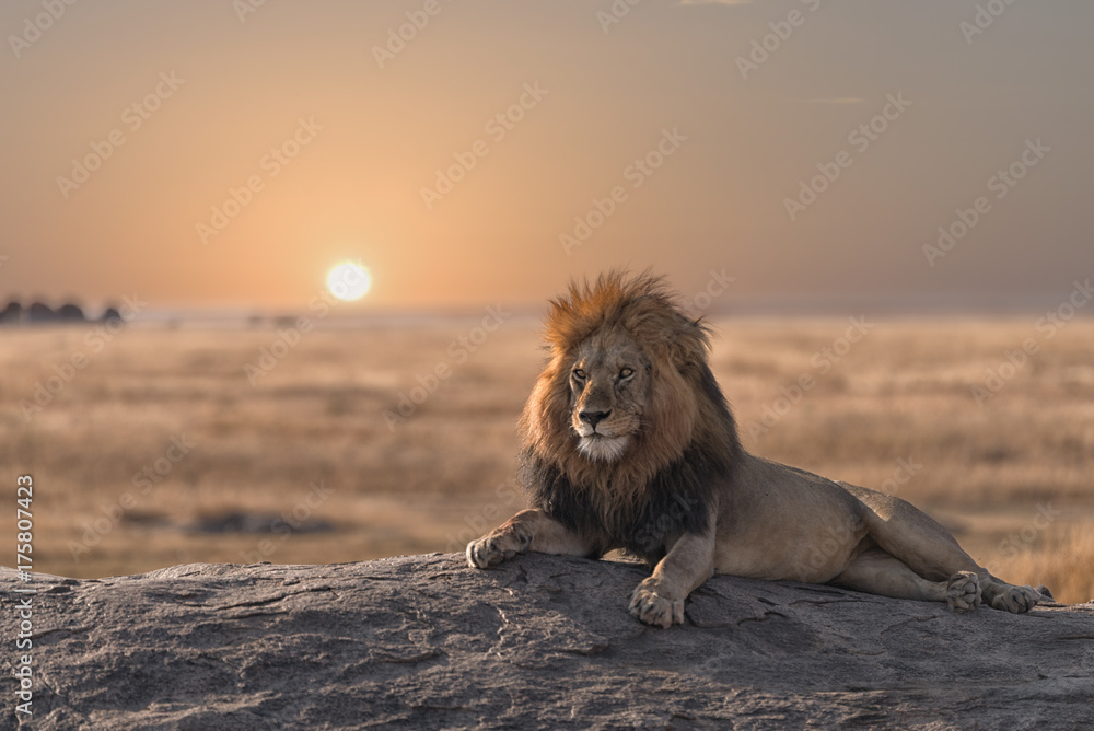 Fototapeta A male lion is sitting on the top of the rock ,looking for his area . He looks so gorgeous.