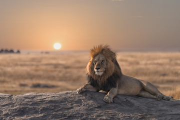 Fototapeta Lew A male lion is sitting on the top of the rock ,looking for his area . He looks so gorgeous.