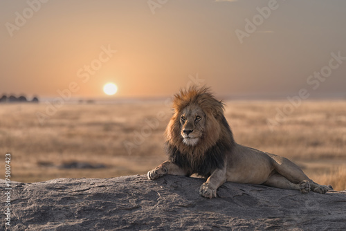A male lion is sitting on the top of the rock ,looking for his area . He looks so gorgeous.