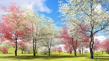 Fototapeta 3D Flowering dogwood trees in orchard in spring time 3d rendering