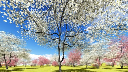 Fototapeta Romantyczny Flowering dogwood trees in orchard in spring time 3d rendering