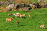 antelopes on a meadow