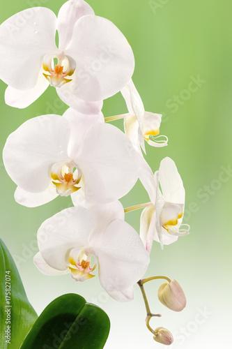 orchidée blanche sur fond vert Wallpaper Mural