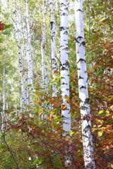 Fototapeta Optyczne powiększenie Beautiful birches in forest in early autumn