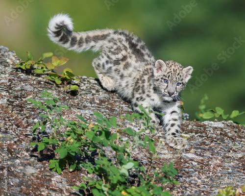 Tuinposter Luipaard Snow Leopard Kitten descending rocky surface in the woods