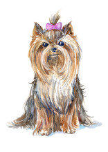 Yorkshire Terrier Portrait.Greeting Card Of A Dog.Domestic Pet.Watercolor Hand Drawn Illustration.White Background.