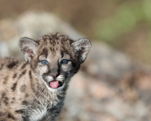Mountain Lion Cub With Tongue ...