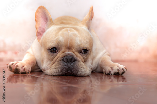 Foto op Plexiglas Franse bulldog Cute French bulldog lovely pet and best friend in the house