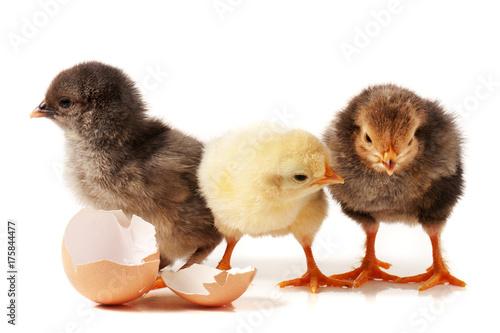 Zdjęcie XXL trzy cute little kurczaka z skorupek wyizolowanych na bia? ym tle