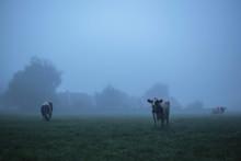 Three Cows In Misty Rural Land...