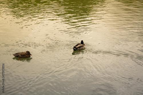 Plakat kaczki i gołębie w pobliżu zbiorników wodnych