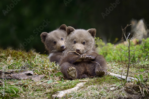 Brown bear cub Wallpaper Mural