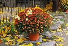 Orange Chrysanthemums With Aut...