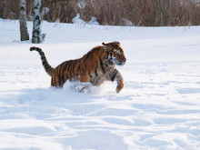 Siberian Tiger Hunting For The...