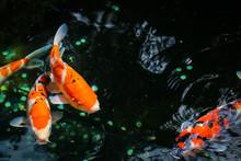 Koi Carp Fish In A Pond In Tokyo