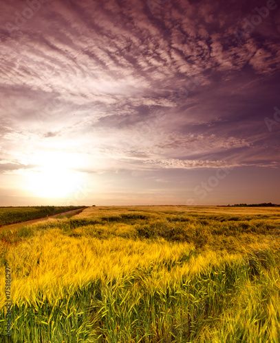 Canvas Prints Honey wheat field at the sunset