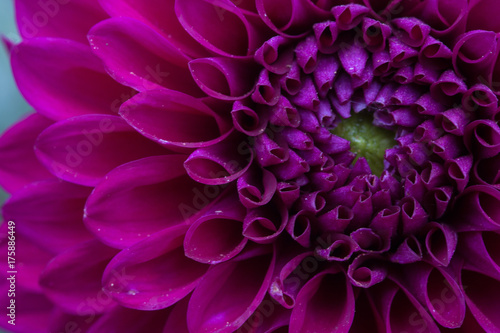 Poster de jardin Dahlia Purple Dahlia Macro