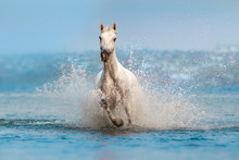 White Horse Run Fast In Blue Water With Splash