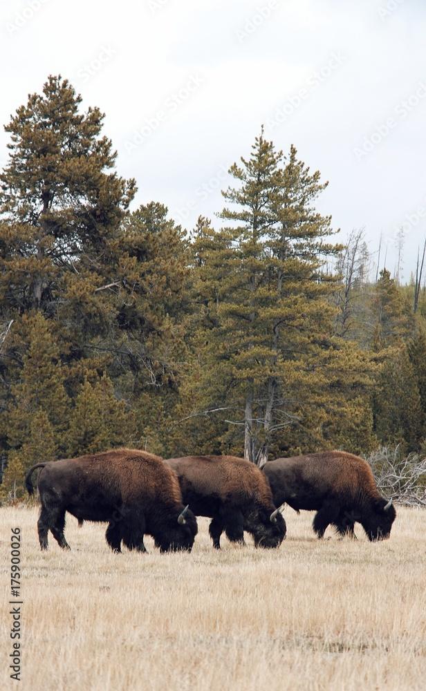Fototapeta three buffalo eating grass