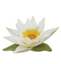 Water Lily On White Background...
