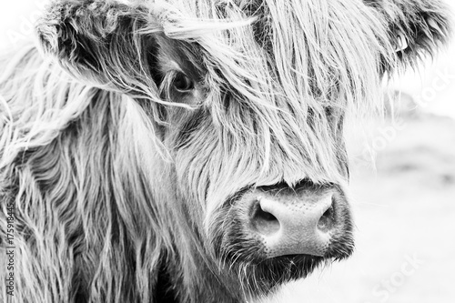 Photo Stands Cow Scottish cow face