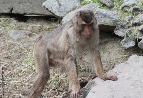 Foto op Canvas Eekhoorn southern pig-tailed macaque (Macaca nemestrina)