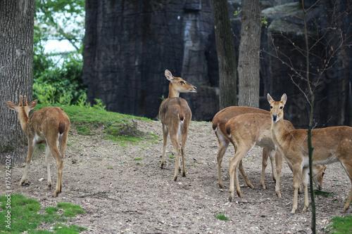 Fotobehang Ree Eld's deer (Panolia eldii)
