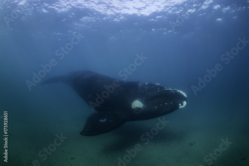 Plakat Południowy prawy wielorybi podwodny widok, Nuevo zatoka, Valdes półwysep, Argentyna.