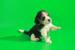Leinwanddruck Bild - 1 month pure breed beagle Puppy on green screen